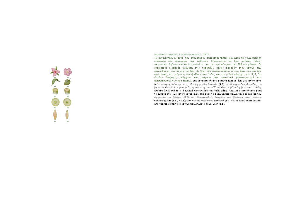 Tάξη: Μονοκοτυλήδονα Οι σπόροι έχουν μία κοτυληδόνα. Tα φύλλα τους έχουν παράλληλα νεύρα. Δεν εμφανίζουν δευτερογενή αύξηση (διαμετρική), συνήθως έχου