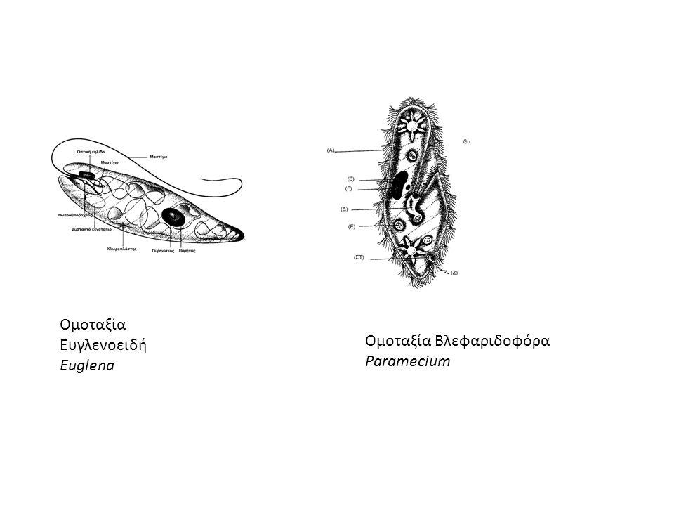 ΥΠΟΒΑΣΙΛΕΙΟ ΠΡΩTΟΖΩΑ Επίπεδο οργάνωσης* Χαρακτηριστηκή δομή: Ευκαριωτικό κύτταρο ΣΥΝΟΜΟTΑΞΙΑ: ΠΡΩTΟΖΩΑ Κύρια χαρακτηριστικά : Είναι μονοκύτταροι ζωικο