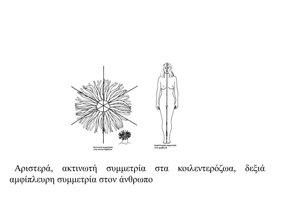 ΣΥΝΟΜΟTΑΞΙΑ: ΚΟΙΛΕΝTΕΡΟΖΩΑ. Βασικά χαρακτηριστικά: Εμπεριέχουν εσωτερική σωματική κοιλότητα (κοιλέντερο) η οποία χρησιμεύει και ως πεπτικό σύστημα και