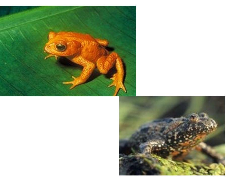 Ομοταξία: Αμφίβια (Amphibia) Είναι οργανισμοί οι οποίοι περνούν μέρος της ζωής τους στο νερό και το άλλο μέρος στην ξηρά. Επίπεδο οργάνωσης: Πνεύμονες
