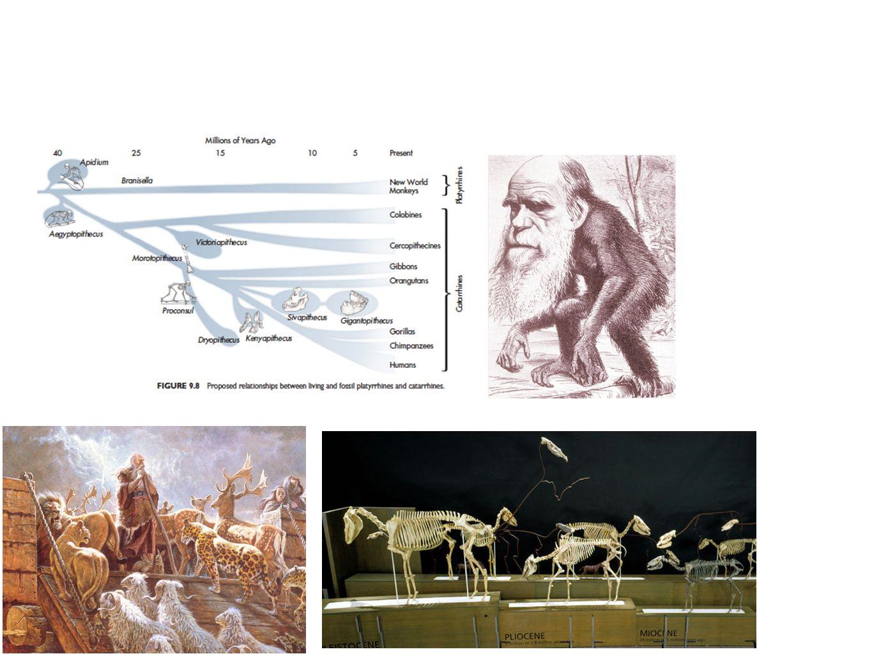 Η θεώρηση του Ανθρώπου Ο Κάρολος Λινναίος τοποθετεί τον άνθρωπο μαζί με τους Ανθρωποειδείς πιθήκους με τέσσερις ποικιλίες του H.