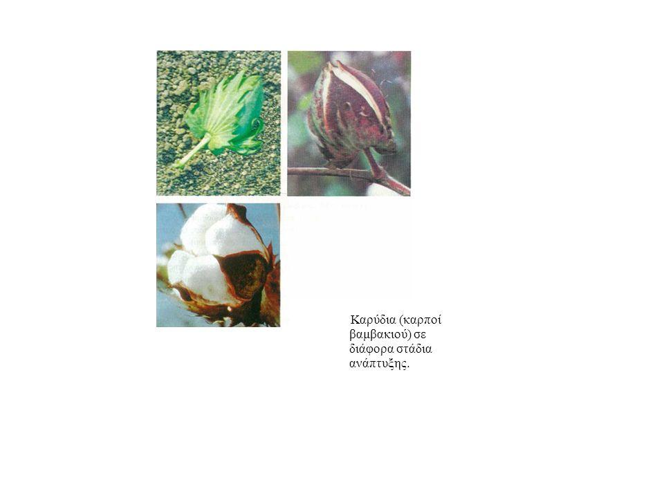Καρύδια (καρποί βαμβακιού) σε διάφορα στάδια ανάπτυξης.
