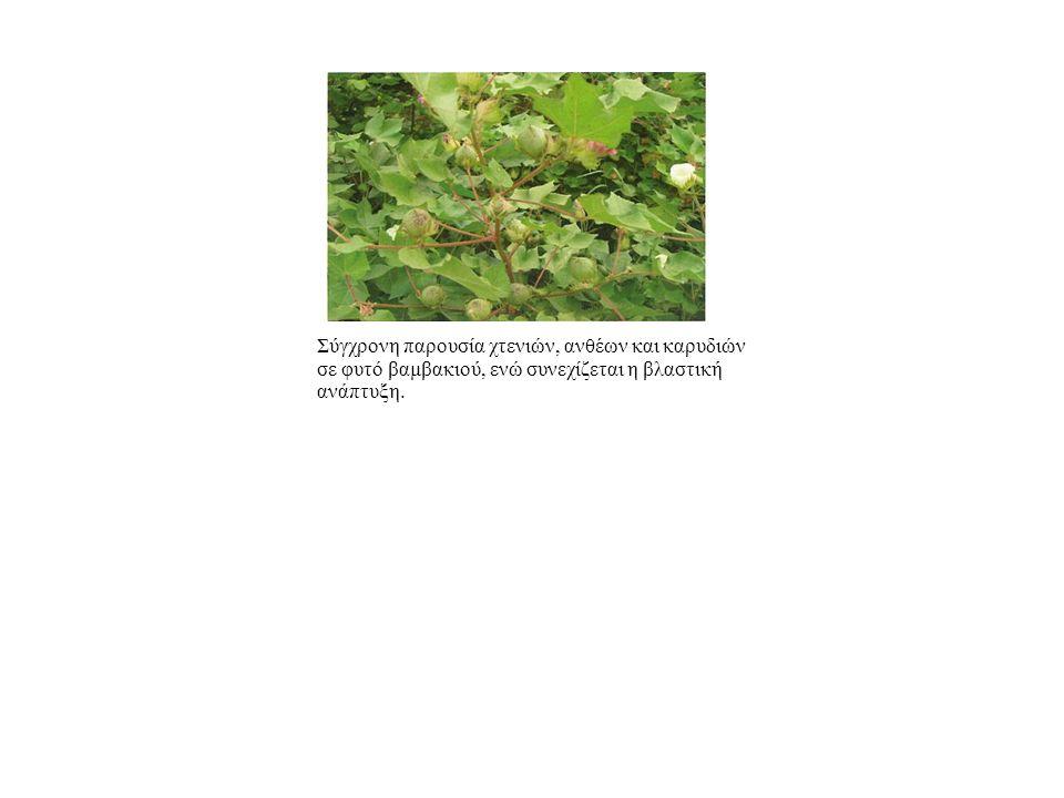 Σύγχρονη παρουσία χτενιών, ανθέων και καρυδιών σε φυτό βαμβακιού, ενώ συνεχίζεται η βλαστική ανάπτυξη.