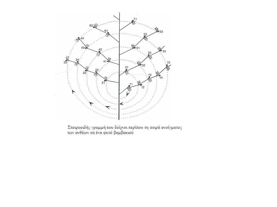 Σπειροειδής γραμμή που δείχνει περίπου τη σειρά ανοίγματος των ανθέων σε ένα φυτό βαμβακιού