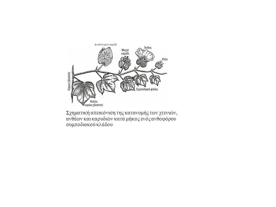 Ανεπτυγμένο καρύδι Σχηματική απεικόνιση της κατανομής των χτενιών, ανθέων και καρυδιών κατά μήκος ενός ανθοφόρου συμποδιακού κλάδου