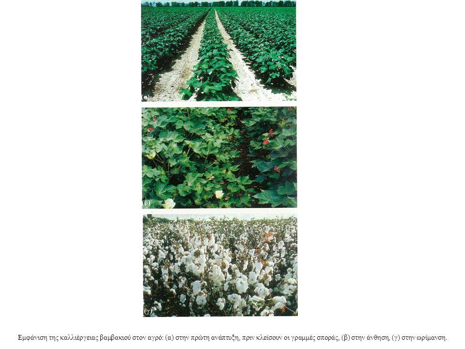 Εμφάνιση της καλλιέργειας βαμβακιού στον αγρό: (α) στην πρώτη ανάπτυξη, πριν κλείσουν οι γραμμές σποράς, (β) στην άνθηση, (γ) στην ωρίμανση.