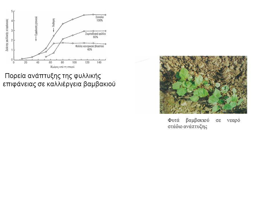 Ημέρες από τη σπορά Πορεία ανάπτυξης της φυλλικής επιφάνειας σε καλλιέργεια βαμβακιού Φυτά βαμβακιού σε νεαρό στάδιο ανάπτυξης.