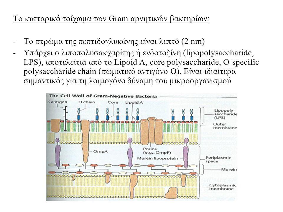 Το κυτταρικό τοίχωμα των Gram αρνητικών βακτηρίων: -Το στρώμα της πεπτιδογλυκάνης είναι λεπτό (2 nm) -Υπάρχει ο λιποπολυσακχαρίτης ή ενδοτοξίνη (lipopolysaccharide, LPS), αποτελείται από το Lipoid A, core polysaccharide, O-specific polysaccharide chain (σωματικό αντιγόνο Ο).