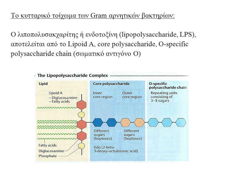 Το κυτταρικό τοίχωμα των Gram αρνητικών βακτηρίων: Ο λιποπολυσακχαρίτης ή ενδοτοξίνη (lipopolysaccharide, LPS), αποτελείται από το Lipoid A, core polysaccharide, O-specific polysaccharide chain (σωματικό αντιγόνο Ο)