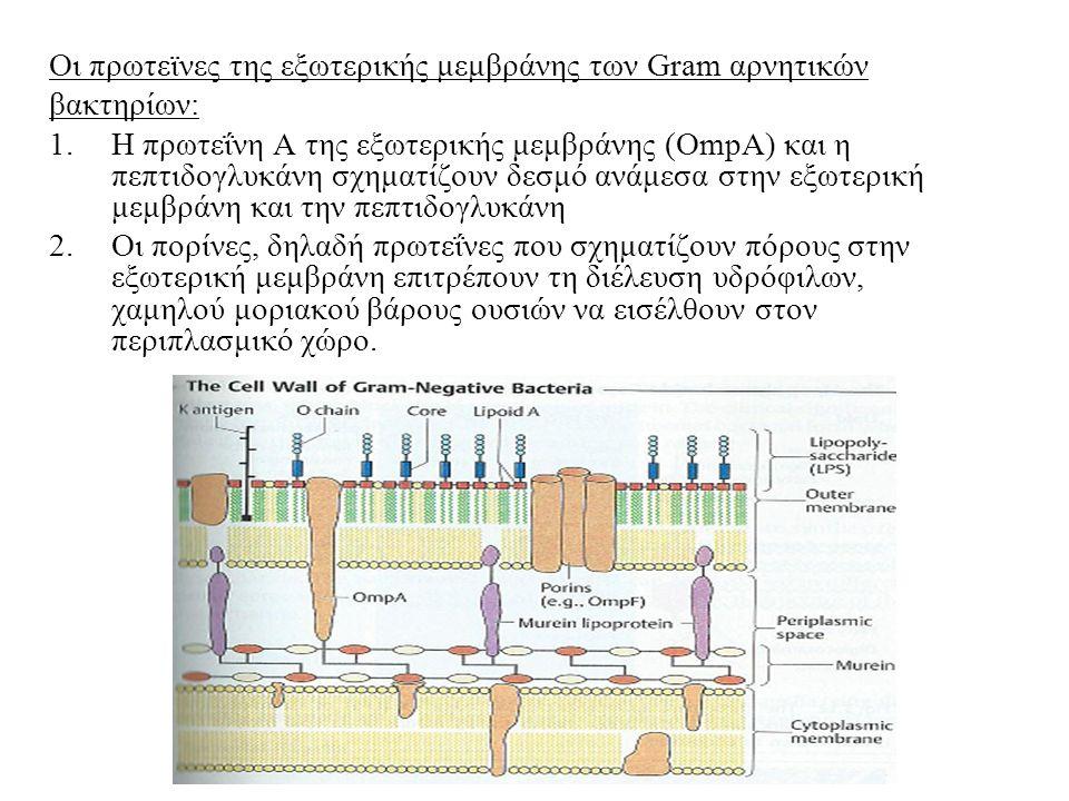 Οι πρωτεϊνες της εξωτερικής μεμβράνης των Gram αρνητικών βακτηρίων: 1.Η πρωτεΐνη Α της εξωτερικής μεμβράνης (OmpA) και η πεπτιδογλυκάνη σχηματίζουν δεσμό ανάμεσα στην εξωτερική μεμβράνη και την πεπτιδογλυκάνη 2.Οι πορίνες, δηλαδή πρωτεΐνες που σχηματίζουν πόρους στην εξωτερική μεμβράνη επιτρέπουν τη διέλευση υδρόφιλων, χαμηλού μοριακού βάρους ουσιών να εισέλθουν στον περιπλασμικό χώρο.