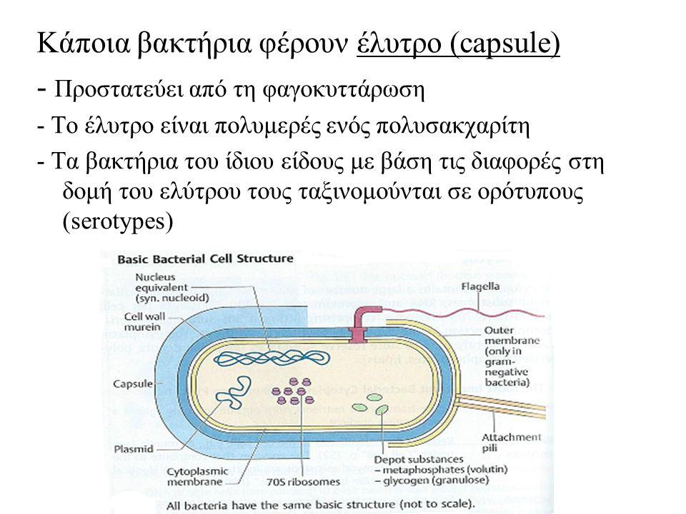 Κάποια βακτήρια φέρουν έλυτρο (capsule) - Προστατεύει από τη φαγοκυττάρωση - Το έλυτρο είναι πολυμερές ενός πολυσακχαρίτη - Τα βακτήρια του ίδιου είδους με βάση τις διαφορές στη δομή του ελύτρου τους ταξινομούνται σε ορότυπους (serotypes)