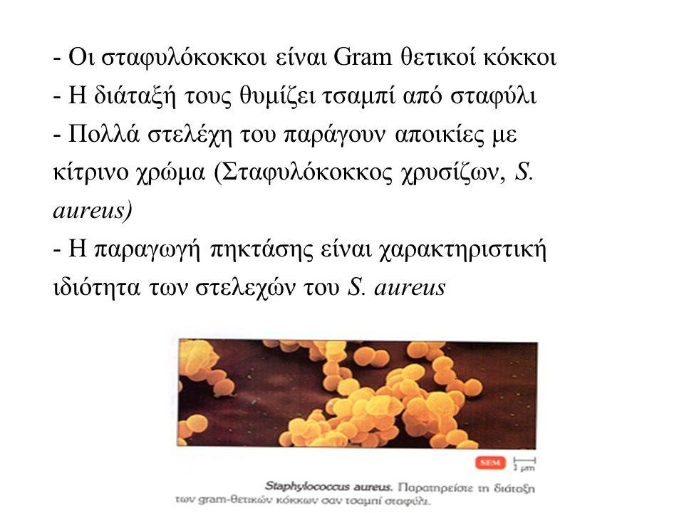 - Οι σταφυλόκοκκοι είναι Gram θετικοί κόκκοι - Η διάταξή τους θυμίζει τσαμπί από σταφύλι - Πολλά στελέχη του παράγουν αποικίες με κίτρινο χρώμα (Σταφυλόκοκκος χρυσίζων, S.