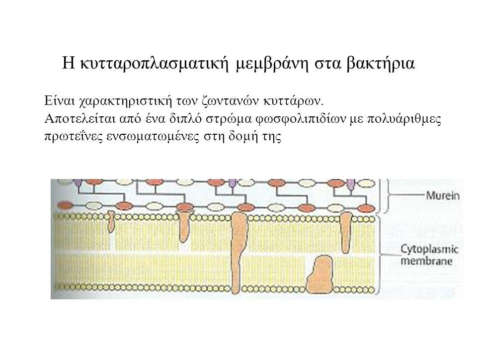 Η κυτταροπλασματική μεμβράνη στα βακτήρια Είναι χαρακτηριστική των ζωντανών κυττάρων.