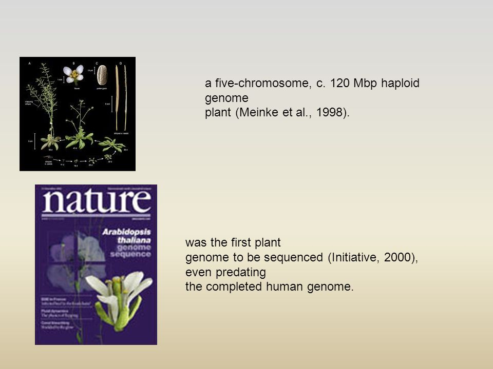 a five-chromosome, c. 120 Mbp haploid genome plant (Meinke et al., 1998). was the first plant genome to be sequenced (Initiative, 2000), even predatin