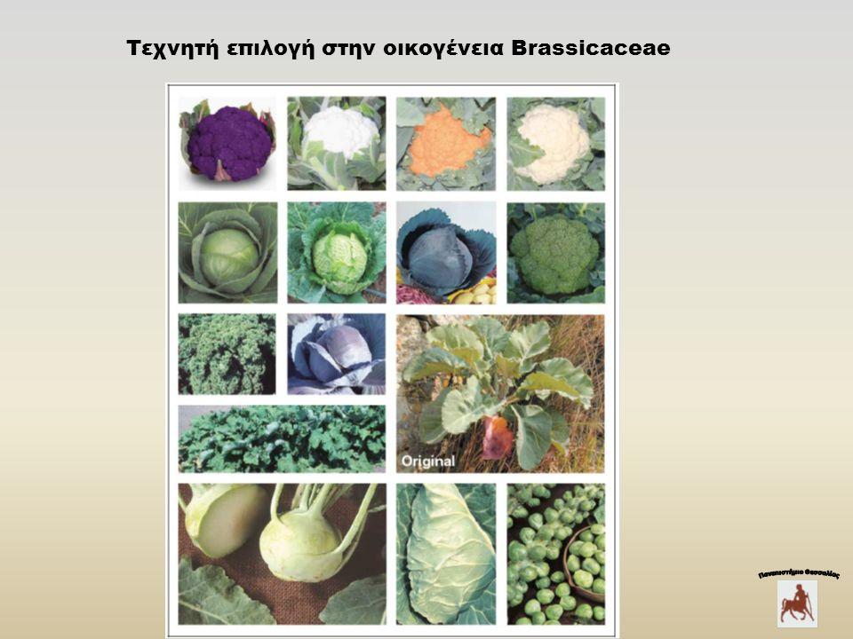 Τεχνητή επιλογή στην οικογένεια Brassicaceae