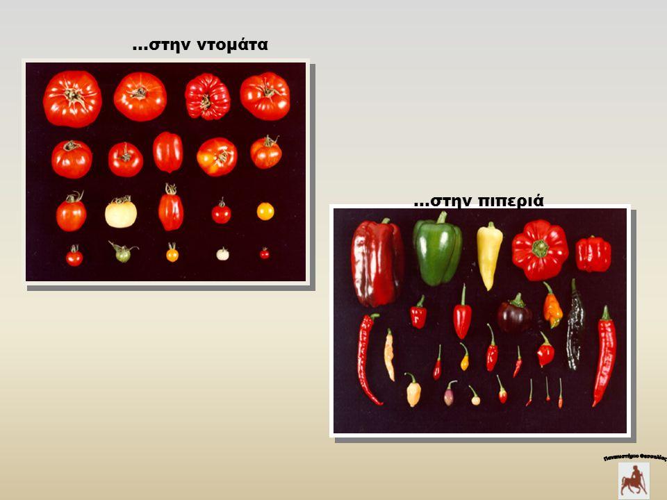 …στην ντομάτα …στην πιπεριά