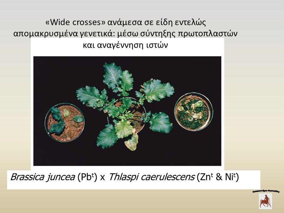 «Wide crosses» ανάμεσα σε είδη εντελώς απομακρυσμένα γενετικά: μέσω σύντηξης πρωτοπλαστών και αναγέννηση ιστών Brassica juncea (Pb t ) x Thlaspi caerulescens (Zn t & Ni t )