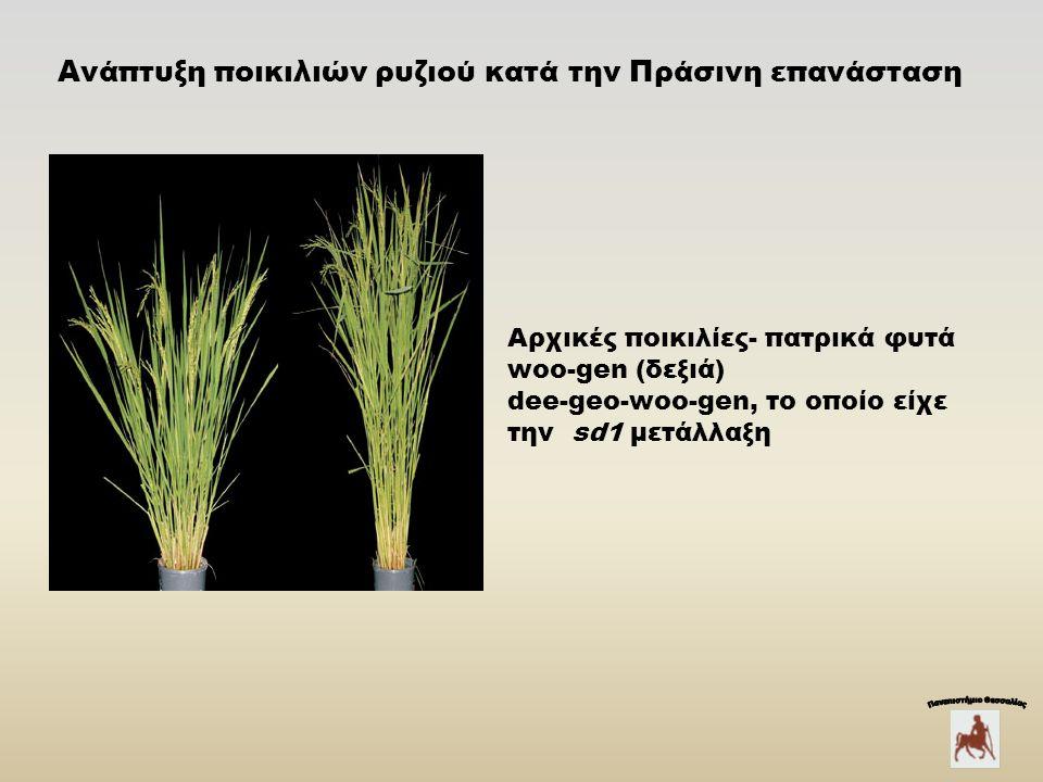 Αρχικές ποικιλίες- πατρικά φυτά woo-gen (δεξιά) dee-geo-woo-gen, το οποίο είχε την sd1 μετάλλαξη Ανάπτυξη ποικιλιών ρυζιού κατά την Πράσινη επανάσταση