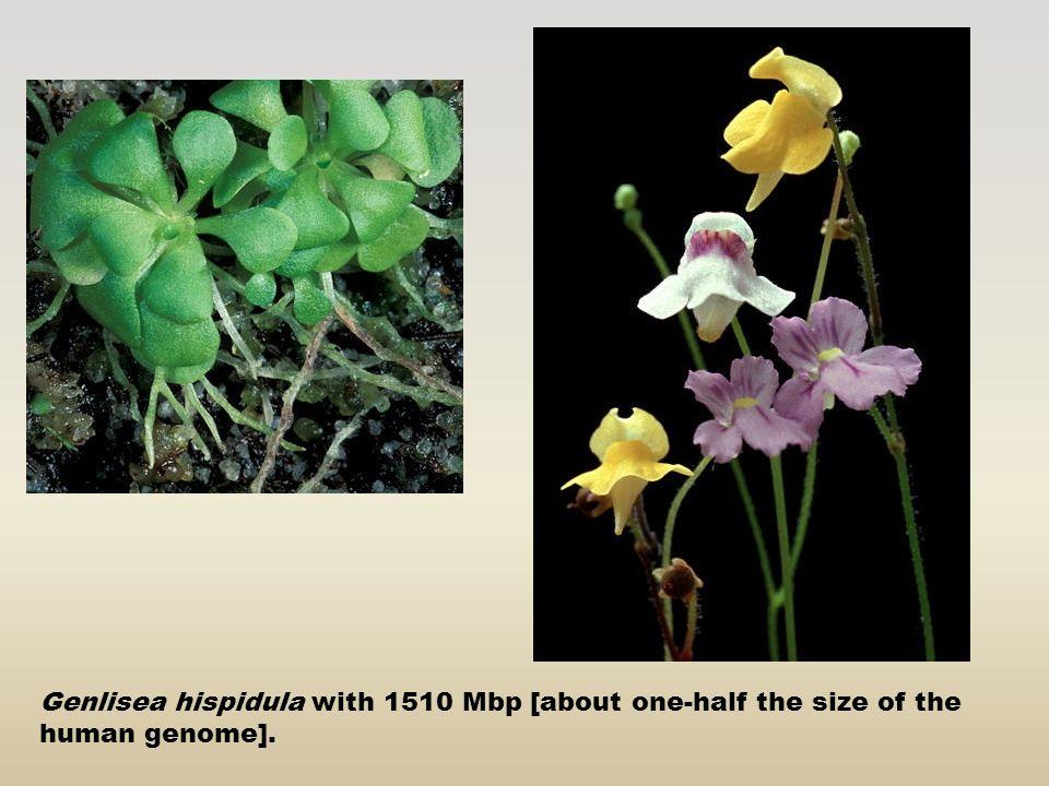 ΣΥΣΧΕΤΙΣΗ ΜΕΤΑΞΥ ΤΟΥ ΜΕΓΕΘΟΥΣ ΤΟΥ ΓΟΝΙΔΙΩΜΑΤΟΣ ΚΑΙ ΤΗΣ ΠΟΛΥΠΛΟΚΟΤΗΤΑΣ ΕΝΟΣ ΟΡΓΑΝΙΣΜΟΥ ΟργανισμόςΜέγεθος γενώματος Ιοί10 4 -10 5 bp Βακτήρια~10 6 bp Arabidopsis thaliana125Χ10 6 bp Άνθρωπος2.8 Χ 10 9 bp Άλγη10 8 -10 11 bp (Χ100 του γενώματος του Ανθρώπου) Καλαμπόκι5,5 Χ10 9 bp Κρεμμύδι16,5 Χ10 9 bp Είναι αξιοσημείωτο ότι το φυτό Vicia faba χρειάζεται 100 φορές περισσότερο DNA από το συγγενικό του είδος Lotus tenuis και 4 φορές περισσότερο από τον άνθρωπο Mέσος όρος για τα γονιδιώματα στα αγγειόσπερμα είναι > 6000 Mbp ανά απλότυπο (δηλαδή 2Χ το ανθρωπινο γονιδίωμα
