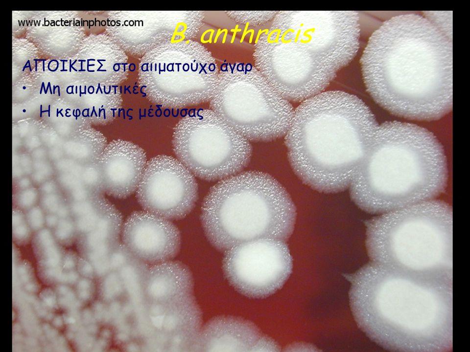 B. anthracis ΑΠΟΙΚΙΕΣ στο αιιματούχο άγαρ Μη αιμολυτικές Η κεφαλή της μέδουσας