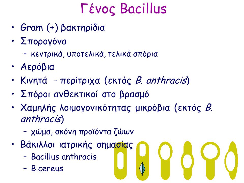 Γένος Bacillus Gram (+) βακτηρίδια Σπορογόνα –κεντρικά, υποτελικά, τελικά σπόρια Αερόβια Κινητά - περίτριχα (εκτός B.