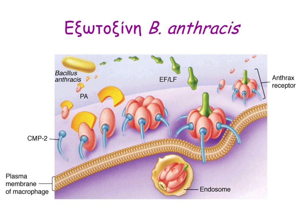 Εξωτοξίνη B. anthracis