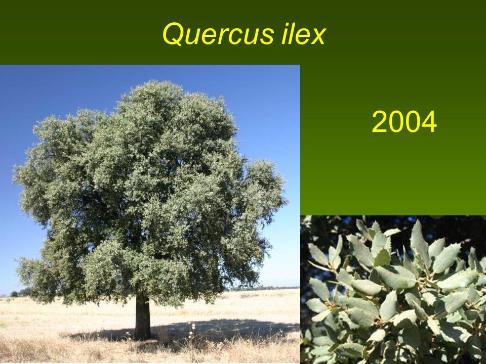 Quercus ilex 2004