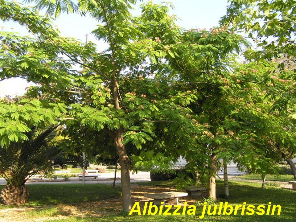 Albizzia julbrissin