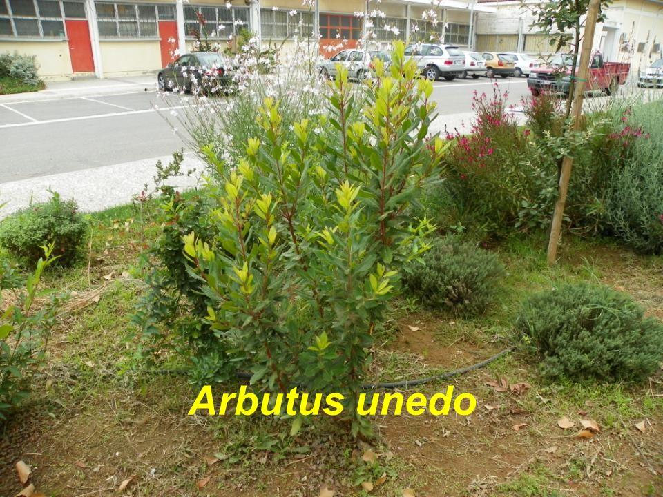 Arbutus unedo