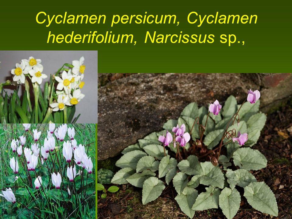 Cyclamen persicum, Cyclamen hederifolium, Narcissus sp.,