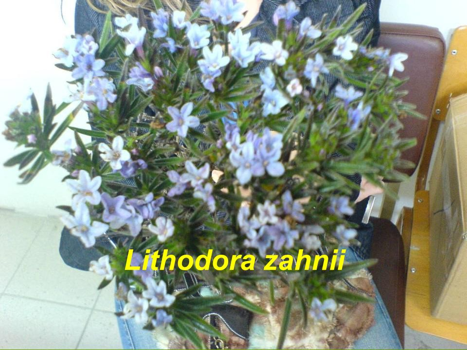 Lithodora zahnii