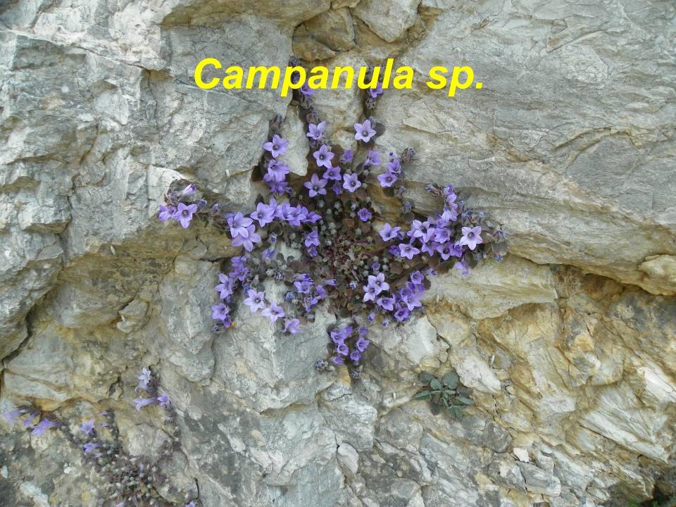 Campanula sp.