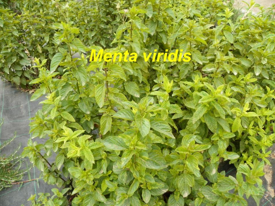 Menta viridis