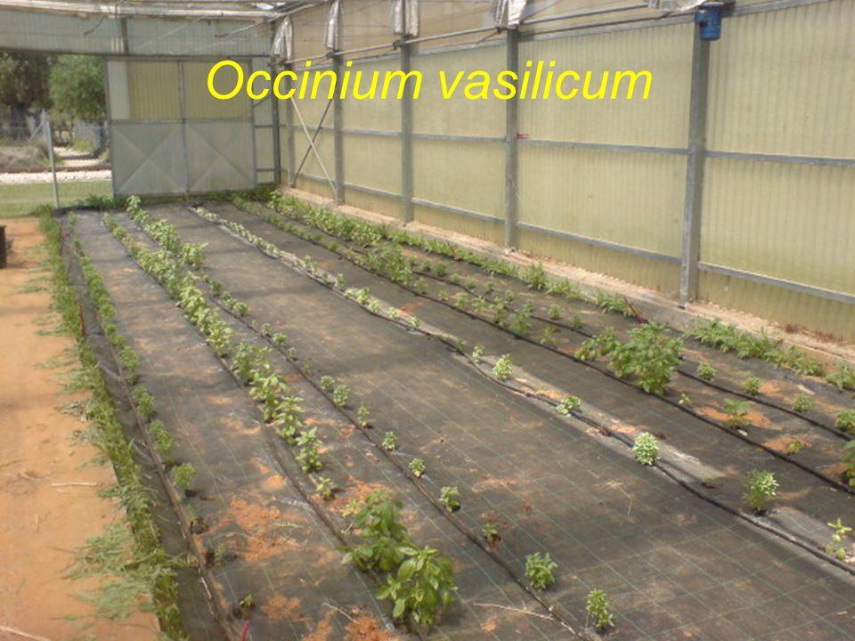 Occinium vasilicum