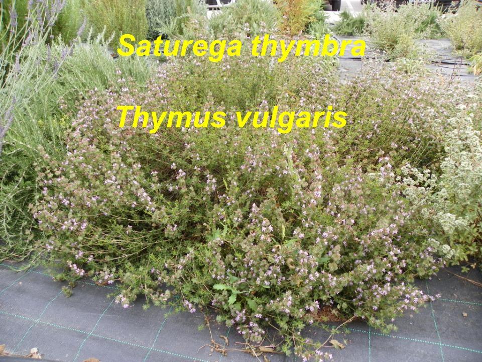 Thymus vulgaris Saturega thymbra