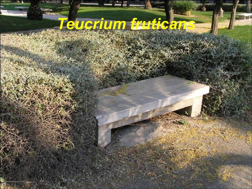 Teucrium fruticans