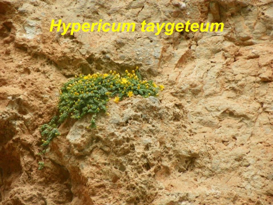 Hypericum taygeteum