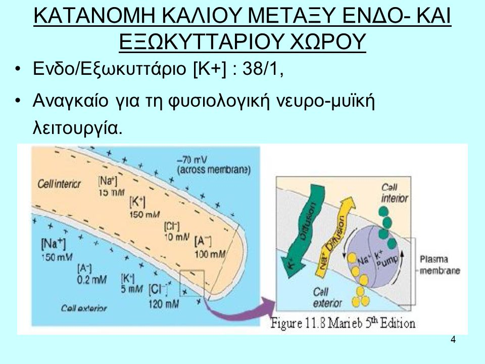 4 ΚΑΤΑΝΟΜΗ ΚΑΛΙΟΥ ΜΕΤΑΞΥ ΕΝΔΟ- ΚΑΙ ΕΞΩΚΥΤΤΑΡΙΟΥ ΧΩΡΟΥ Ενδο/Εξωκυττάριο [K+] : 38/1, Αναγκαίο για τη φυσιολογική νευρο-μυϊκή λειτουργία.