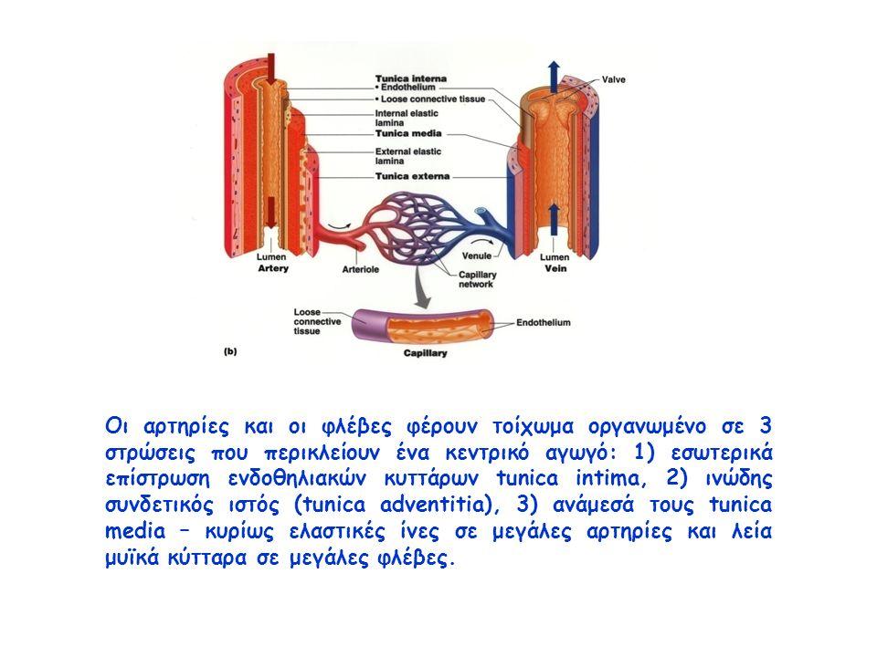 Οι αρτηρίες και οι φλέβες φέρουν τοίχωμα οργανωμένο σε 3 στρώσεις που περικλείουν ένα κεντρικό αγωγό: 1) εσωτερικά επίστρωση ενδοθηλιακών κυττάρων tunica intima, 2) ινώδης συνδετικός ιστός (tunica adventitia), 3) ανάμεσά τους tunica media – κυρίως ελαστικές ίνες σε μεγάλες αρτηρίες και λεία μυϊκά κύτταρα σε μεγάλες φλέβες.