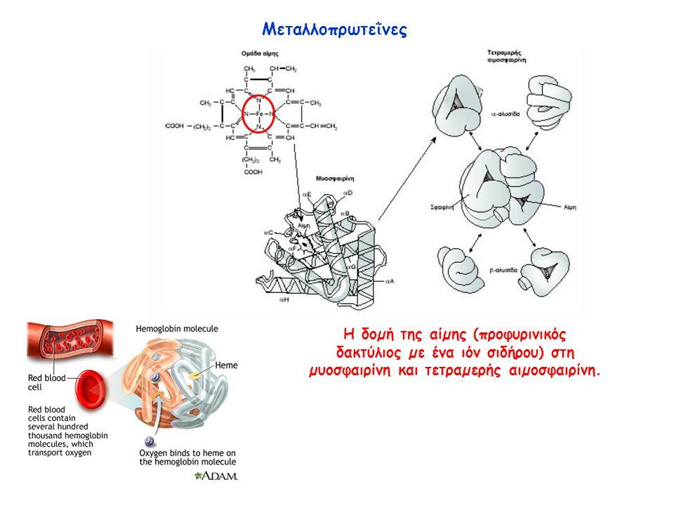 Μεταλλοπρωτε ῒ νες Η δοµή της αίµης (προφυρινικός δακτύλιος µε ένα ιόν σιδήρου) στη µυοσφαιρίνη και τετραµερής αιµοσφαιρίνη.