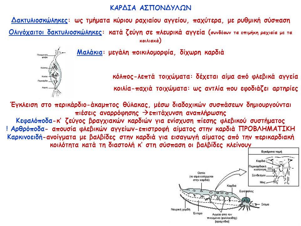 ΚΑΡΔΙΑ ΑΣΠΟΝΔΥΛΩΝ Δακτυλιοσκώληκες: ως τμήματα κύριου ραχιαίου αγγείου, παχύτερα, με ρυθμική σύσπαση Ολιγόχαιτοι δακτυλιοσκώληκες: κατά ζεύγη σε πλευρικά αγγεία ( συνδέουν τα επιμήκη ραχιαία με τα κοιλιακά ) Μαλάκια: μεγάλη ποικιλομορφία, δίχωρη καρδιά κόλπος-λεπτά τοιχώματα: δέχεται αίμα από φλεβικά αγγεία κοιλία-παχιά τοιχώματα: ως αντλία που εφοδιάζει αρτηρίες Έγκλειση στο περικάρδιο-άκαμπτος θύλακας, μέσω διαδοχικών συσπάσεων δημιουργούνται πιέσεις αναρρόφησης  επιτάχυνση αναπλήρωσης Κεφαλόποδα-κ' ζεύγος βραγχιακών καρδιών για ενίσχυση πίεσης φλεβικού συστήματος .
