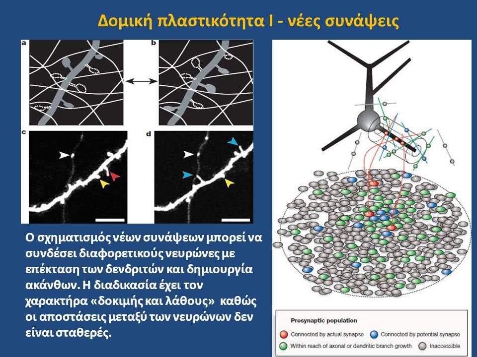 Δομική πλαστικότητα Ι - νέες συνάψεις Ο σχηματισμός νέων συνάψεων μπορεί να συνδέσει διαφορετικούς νευρώνες με επέκταση των δενδριτών και δημιουργία ακάνθων.