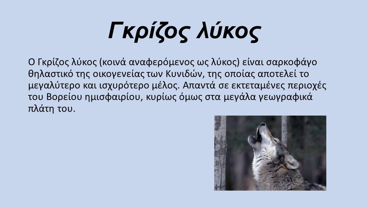 Γκρίζος λύκος Ο Γκρίζος λύκος (κοινά αναφερόμενος ως λύκος) είναι σαρκοφάγο θηλαστικό της οικογενείας των Κυνιδών, της οποίας αποτελεί το μεγαλύτερο κ