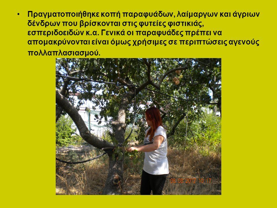 Πραγματοποιήθηκε κοπή παραφυάδων, λαίμαργων και άγριων δένδρων που βρίσκονται στις φυτείες φιστικιάς, εσπεριδοειδών κ.α.