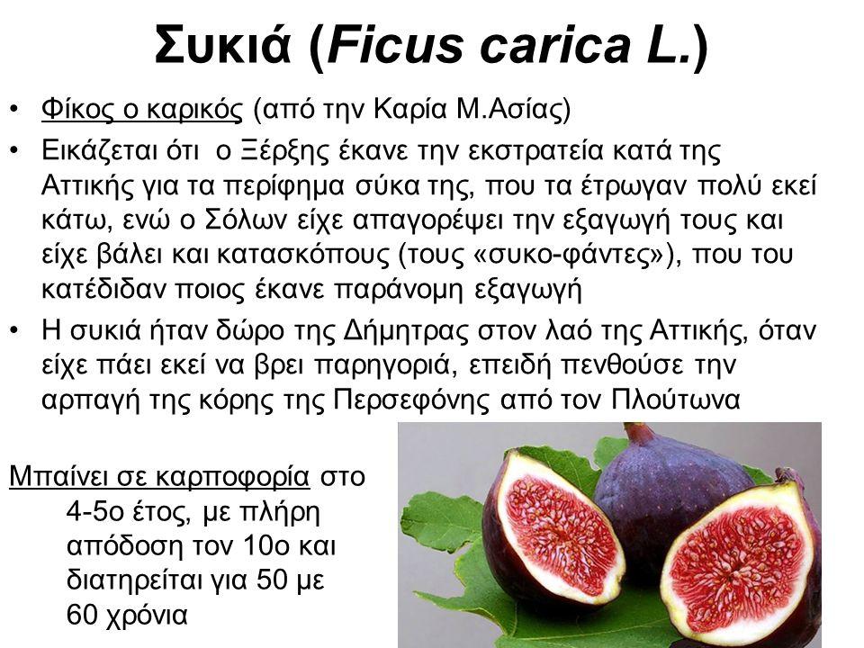 Συκιά (Ficus carica L.) Φίκος ο καρικός (από την Καρία Μ.Ασίας) Εικάζεται ότι ο Ξέρξης έκανε την εκστρατεία κατά της Αττικής για τα περίφημα σύκα της, που τα έτρωγαν πολύ εκεί κάτω, ενώ ο Σόλων είχε απαγορέψει την εξαγωγή τους και είχε βάλει και κατασκόπους (τους «συκο-φάντες»), που του κατέδιδαν ποιος έκανε παράνομη εξαγωγή Η συκιά ήταν δώρο της Δήμητρας στον λαό της Αττικής, όταν είχε πάει εκεί να βρει παρηγοριά, επειδή πενθούσε την αρπαγή της κόρης της Περσεφόνης από τον Πλούτωνα Μπαίνει σε καρποφορία στο 4-5ο έτος, με πλήρη απόδοση τον 10ο και διατηρείται για 50 με 60 χρόνια