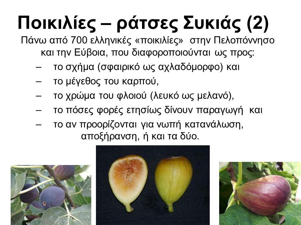 Ποικιλίες – ράτσες Συκιάς (2) Πάνω από 700 ελληνικές «ποικιλίες» στην Πελοπόννησο και την Εύβοια, που διαφοροποιούνται ως προς: –το σχήμα (σφαιρικό ως