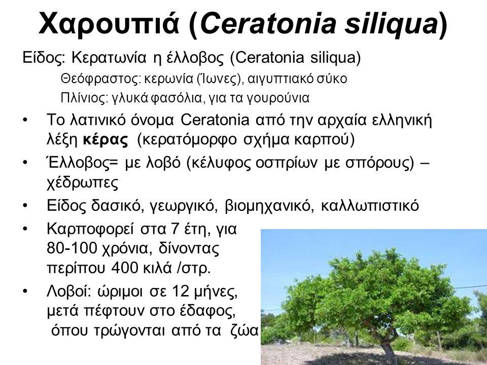 Χαρουπιά (Ceratonia siliqua) Είδος: Κερατωνία η έλλοβος (Ceratonia siliqua) Θεόφραστος: κερωνία (Ίωνες), αιγυπτιακό σύκο Πλίνιος: γλυκά φασόλια, για τα γουρούνια Το λατινικό όνομα Ceratonia από την αρχαία ελληνική λέξη κέρας (κερατόμορφο σχήμα καρπού) Έλλοβος= με λοβό (κέλυφος οσπρίων με σπόρους) – χέδρωπες Είδος δασικό, γεωργικό, βιομηχανικό, καλλωπιστικό Καρποφορεί στα 7 έτη, για 80-100 χρόνια, δίνοντας περίπου 400 κιλά /στρ.