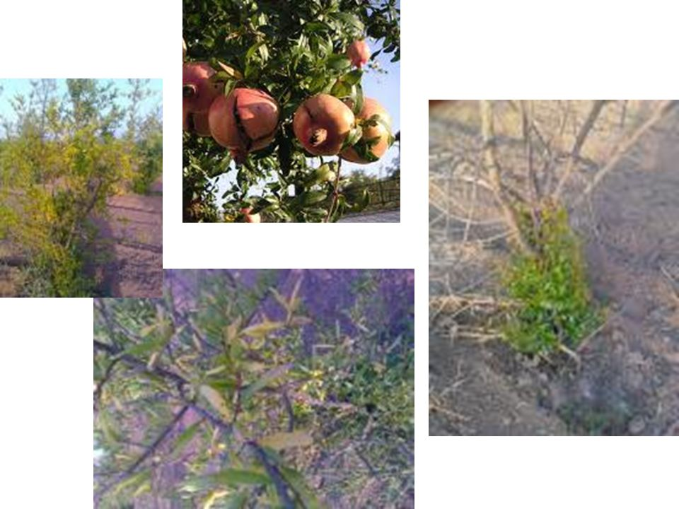 Εντόπιες ράτσες - ποικιλίες: Α) Ξυνοροδιές Ξινοροδιά (αγριοκαμπάτικα)=: μικρός καρπός, χοντρή φλούδα βυσσινί, πολύ ξινά ρόδια και διατηρούνται πολύ Χοντροροδιά (καμπάτικα): μέτριος ως μεγάλος καρπός, σπόροι χοντροί και ξανθοί, αρκετά ξινοί, στην ωρίμαση αρκετά γλυκείς Τσιποροδιά: μέτριος ως μεγάλος καρπός, με λεπτή κόκκινη φλούδα, σπόροι χοντροί και ξανθοί Γούνες: μικρός καρπός, φλούδα χοντρή βυσσινί, γυαλιστερή, σπόροι πολύ ξινοί, διατηρούνται πολύ καιρό Λειφάνια: πολύ μεγάλος καρπός (1 κιλό), ευθρορόδινη φλούδα,σπόροι μέτριοι, δεν διατηρούνται πολύ Κρασοροδιά: μέτριος καρπός, λεπτή κόκκινη επιδερμίδα, δεν διατηρούνται πολύ, ευαίσθητη στο σκάσιμο