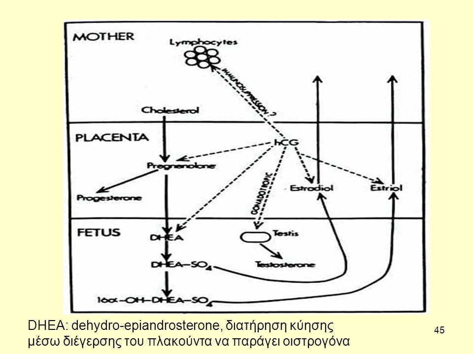 45 DHEA: dehydro-epiandrosterone, διατήρηση κύησης μέσω διέγερσης του πλακούντα να παράγει οιστρογόνα