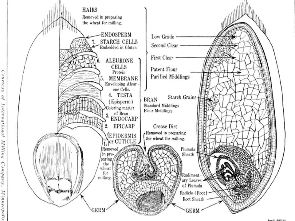 17 ΤΙ ΑΠΟΤΕΛΕΙ ΤΗΝ ΠΟΙΟΤΗΤΑ ΤΟΥ ΣΙΤΑΡΙΟΥ; Για τους αγρότες: – Είδος του καρπού (μέγεθος, δομή, πυκνότητα) – Η απόδοση – Η αντοχή στις ασθένειες και τα έντομα – Η τιμή Για την αλευροποιία και την αρτοποιία: – Περιεκτικότητα σε πρωτεΐνη (14-15%) – Απόδοση σε άλευρο (% καρπού) – Συνεκτικότητα (ισχύς) της ζύμης (ποιότητα πρωτεΐνης, gluten quality , gluten functionality ) – Απόδοση στην αρτοποιία – Πώς «αντιδρά» στην επεξεργασία